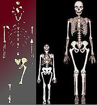 Lucy (midden) was klein vergeleken met de moderne mens (rechts). En dat niet alleen: ze was ook klein vergeleken met sommige andere a. afarensis. De grote vraag is alleen: waren die grote, stoere tijdgenoten de mannen van Lucy's soort, of een compleet ander type australopithecus?