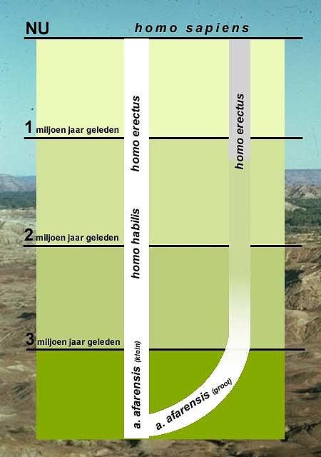 Hier zie je een sterk vereenvoudigde stamboom van de mens. Links, in de 'hoofdstam' staat het verhaal zoals dat nu in de schoolboekjes staat. De kleine a. afarensis (waaronder Lucy) zijn de voorouders van homo habilis, die uiteindelijk evolueerde tot homo erectus, de directe voorouder van de moderne mens. Rechts zie je het alternatief: tegelijkertijd met Lucy bestond en een tweede soort a. afarensis (de grote, robuuste soort), die uiteindelijk via homo erectus evolueerde in homo sapiens.