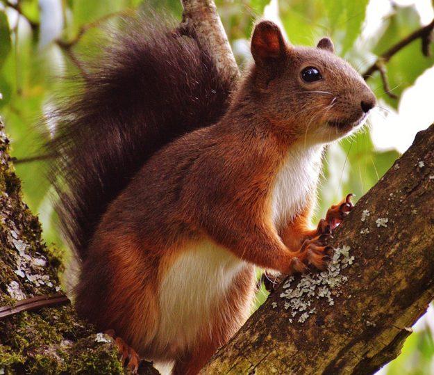 Rode eekhoorn. Bron: www.pixaby.com/